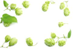 Beer brewing ingredients Hop cones isolated on white background. Beer brewery concept. Beer background Stock Photography