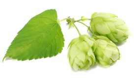 Beer brewing ingredients Hop cones isolated on white background. Beer brewery concept. Beer background Stock Photo