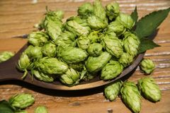 Beer brewing ingredients Hop cones in wooden bowl and wheat ears on wooden background. Beer brewery concept. Beer brewing ingredients Hop cones in wooden bowl Stock Photos