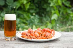 Beer with crayfish on wooden royalty free stock photo