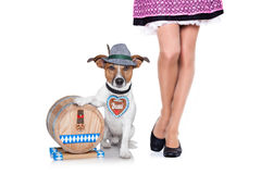 Beer drunk  dog Stock Photography
