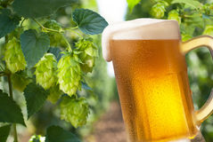 Beer glass. With hop-garden in the background royalty free stock photography
