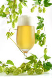 Beer in glass with hop sprouts. Beer with foam in glass with wild hop sprouts with cones and leaves stock images