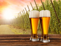 Beer glasses with hop-field on background Royalty Free Stock Images