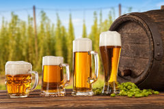 Beer glasses with hop-field on background. Beer glasses served on wooden desk with keg. Hop-field on background Stock Images