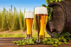 Beer glasses with hop-field on background. Beer glasses served on wooden desk with keg. Hop-field on background Stock Photography