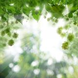 Beer hops leaves background with abstract bokeh light.  stock photography