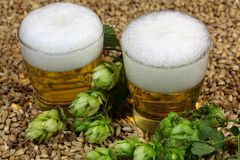 Beer, hops and malt. Two glasses of beer with malt and hops Stock Images