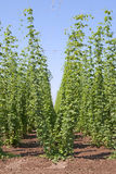 Beer Hops Stock Images