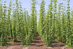 Beer Hops Stock Photos