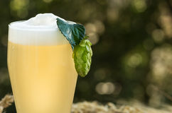 Beer kvass malt hops. Large glass beer, kvass, malt, hops barley ears natural background stock image