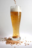 Beer and malt. Malt dropping in glass with beer Stock Photography