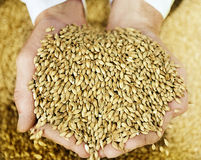 Beer Malt. In man hands Stock Photography