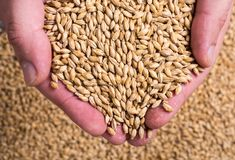 Pilsner malt in hand. Beer pilsner malt in hand . Barley Stock Images