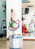 Beer-Sheva, ISRAEL -White poodle circus acts with hoops, July 25, 2015. In Israel royalty free stock images
