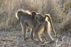 Beerbaviaan, babuíno de Chacma, ursinus do Papio fotografia de stock royalty free