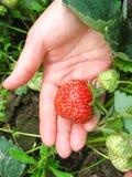 Beere der Erdbeeren in der Hand Lizenzfreies Stockbild