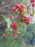 Beeren. Beere rot Herbst September autumn stock photo