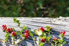Beeren auf den Niederlassungen von Moosbeeren Stockfotografie