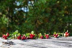 Beeren auf den Niederlassungen von Moosbeeren Lizenzfreies Stockfoto