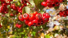 Beeren auf einem Baum Lizenzfreie Stockfotografie