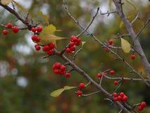 Beeren auf einer Niederlassung Stockbild