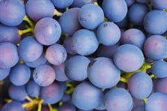 Beeren der blauen Traubengewinnreife Stockbild