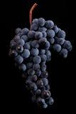 Beeren der dunklen Weintraube mit Wasser fällt in das Restlicht, das auf schwarzem Hintergrund lokalisiert wird Stockfotografie
