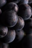 Beeren der dunklen Weintraube mit Wasser fällt in das Restlicht, das auf weißem Hintergrund lokalisiert wird Stockfotografie