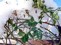 Beeren der Hagebutte im Schutz des Schnees Stockbild