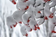 Beeren der roten Eberesche auf den Niederlassungen umfasst mit Schnee Stockfotografie