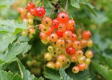Beeren der roten Johannisbeere Stockbild