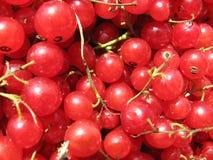 Beeren der roten Johannisbeere lizenzfreie stockfotos