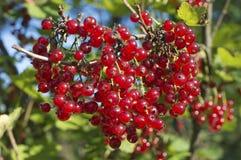 Beeren der roten Johannisbeere Lizenzfreies Stockfoto