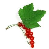 Beeren der roten Johannisbeere Stockfoto