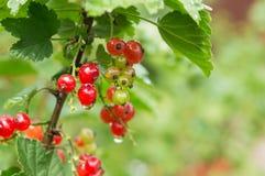 Beeren der roten Johannisbeere auf einer Niederlassung Lizenzfreies Stockbild