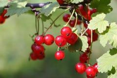 Beeren der roten Johannisbeere auf einer Niederlassung Stockbilder
