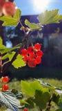 Beeren der roten Johannisbeere, Nahaufnahme Lizenzfreies Stockbild