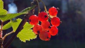 Beeren der roten Johannisbeere, Nahaufnahme Stockfoto
