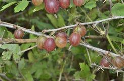 Beeren der roten Stachelbeere Lizenzfreies Stockbild
