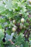 Beeren der Stachelbeere häufen das Wachsen auf einer Niederlassung eines Busches Stockfoto