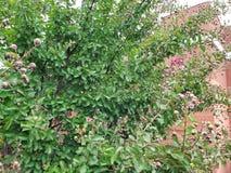 Beeren, die auf Bush wachsen Stockfotos
