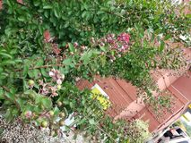 Beeren, die auf Bush wachsen Stockfoto