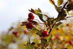 Beeren für die Vögel Lizenzfreies Stockbild