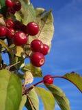Beeren im Himmel Stockfotografie