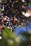 Beeren im Schatten Lizenzfreies Stockfoto