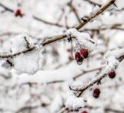 Beeren im Schnee stockfoto