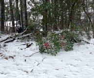 Beeren im Schnee Stockbild