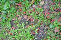 Beeren im wilden Herbst lizenzfreies stockfoto