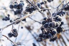 Beeren im Winter Mit dem Effekt des Tonens Stockbilder